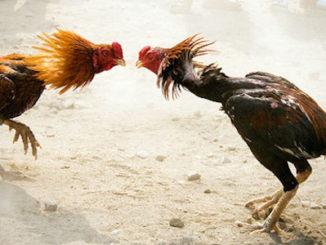cock fights acadamy in godavari districts