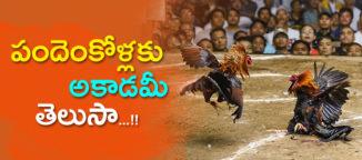 cock-fights-acadamy-in-godavari-districts