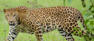 leopards in east godavari
